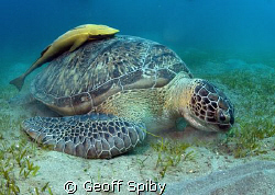 large green turtle and its remora by Geoff Spiby 